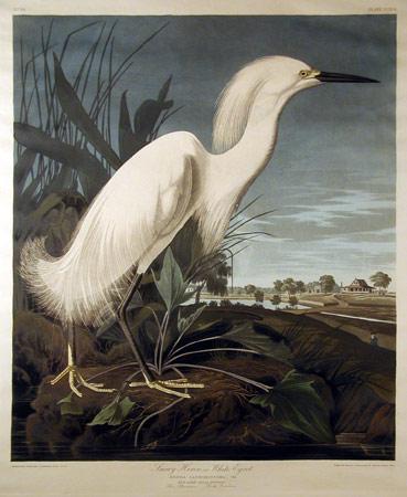 James Audubon, White Egret