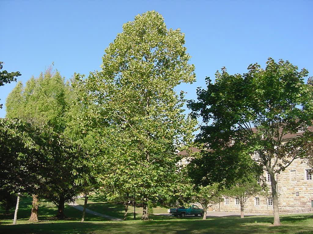 Sewanee trees