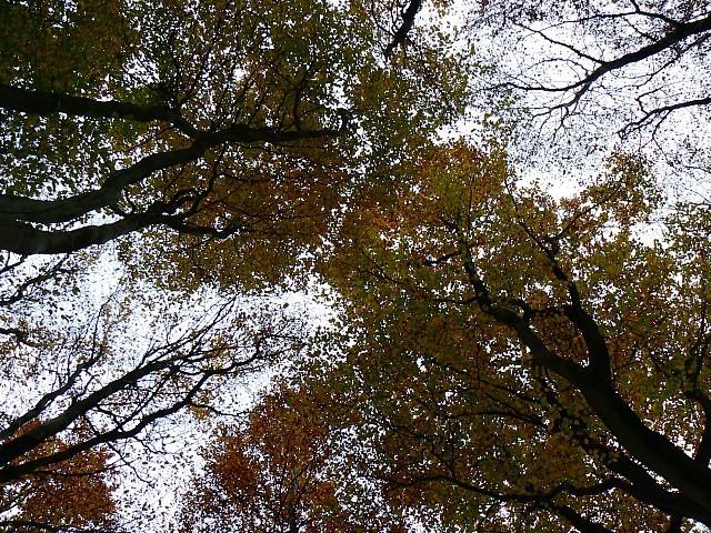 Tree_canopies,_Cobham_Frith,_near_Marlborough_-_geograph.org.uk_-_606302