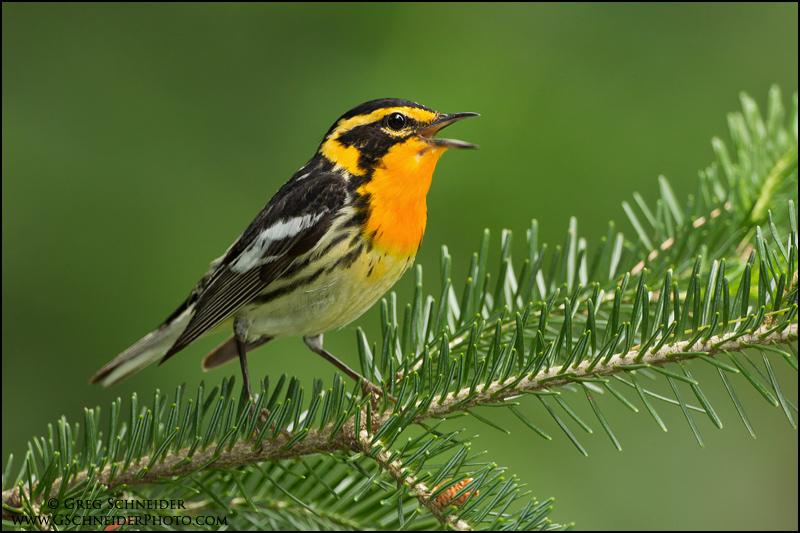 Blackburning warbler