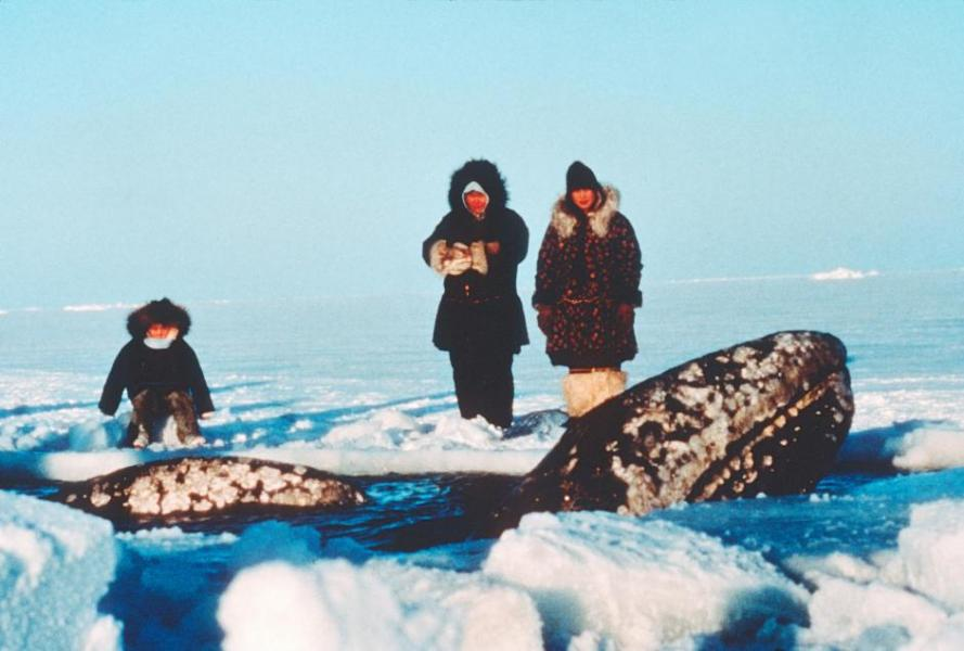 In 1988, Operation Breakthrough would free three ice-bound gray whales