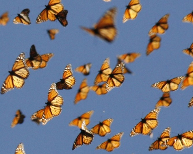 monarchs migrating